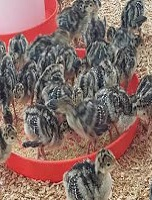 Commertial Turkeys poult starter formulae