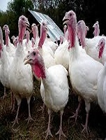 Commertial Turkeys evolutionary 2 formulae